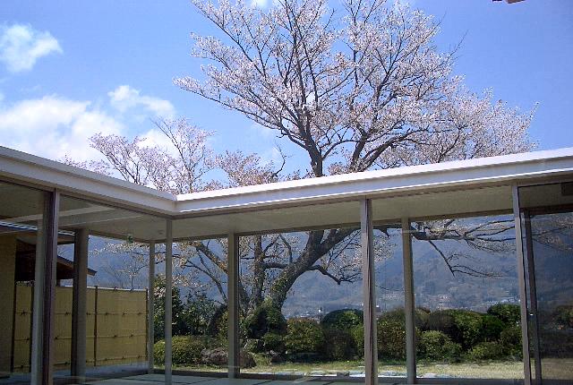 廊下から見る桜
